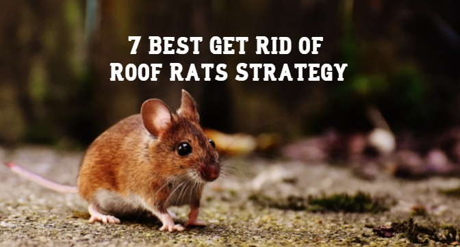 7 Best Get Rid of Roof Rats Strategy